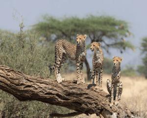 Samburu Park cheetah